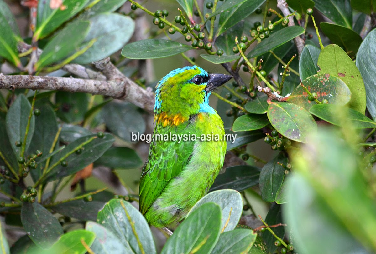 Malaysia Birding