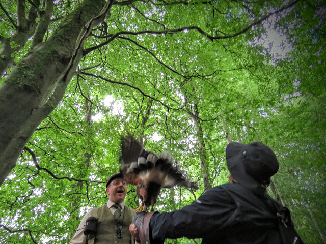 Harris Hawk landing on my arm at Mount Falcon estate in County Mayo, Ireland