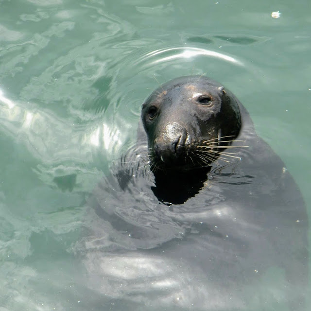 One Day in Dublin: Seal in Howth Harbour