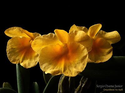 Orquídea Dendrobium aggregatum