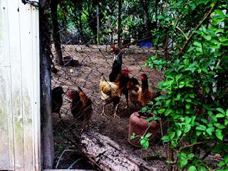 O galinheiro de Tomaz, no Conjunto Habitacional Turística