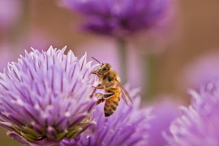 Honeybee on chive blossom