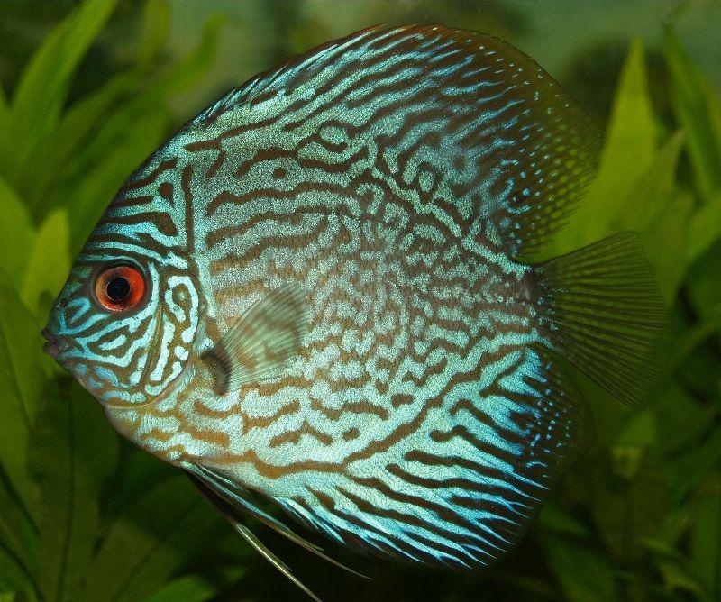 ciri-ciri ikan discus bertelur