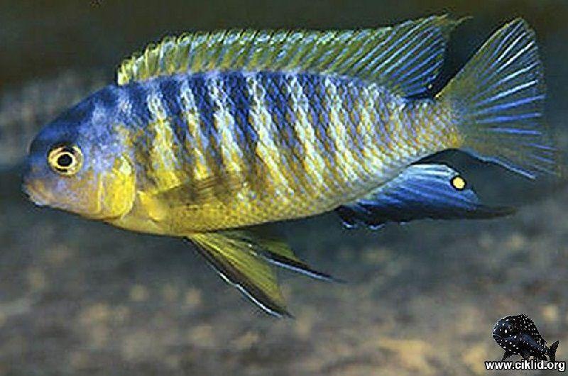 Gambar jenis jenis ikan cichlid ( Malawi Cichlids ) - Pola Warna Njambe
