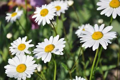10 Manfaat minyak chamomile untuk kesehatan dan kecantikan