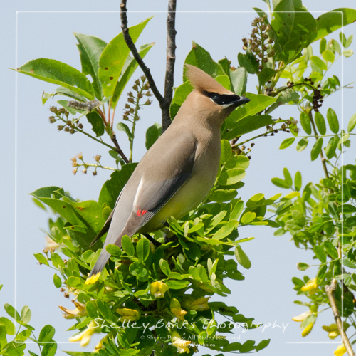 Cedar Waxwing. Copyright © Shelley Banks, All Rights Reserved.