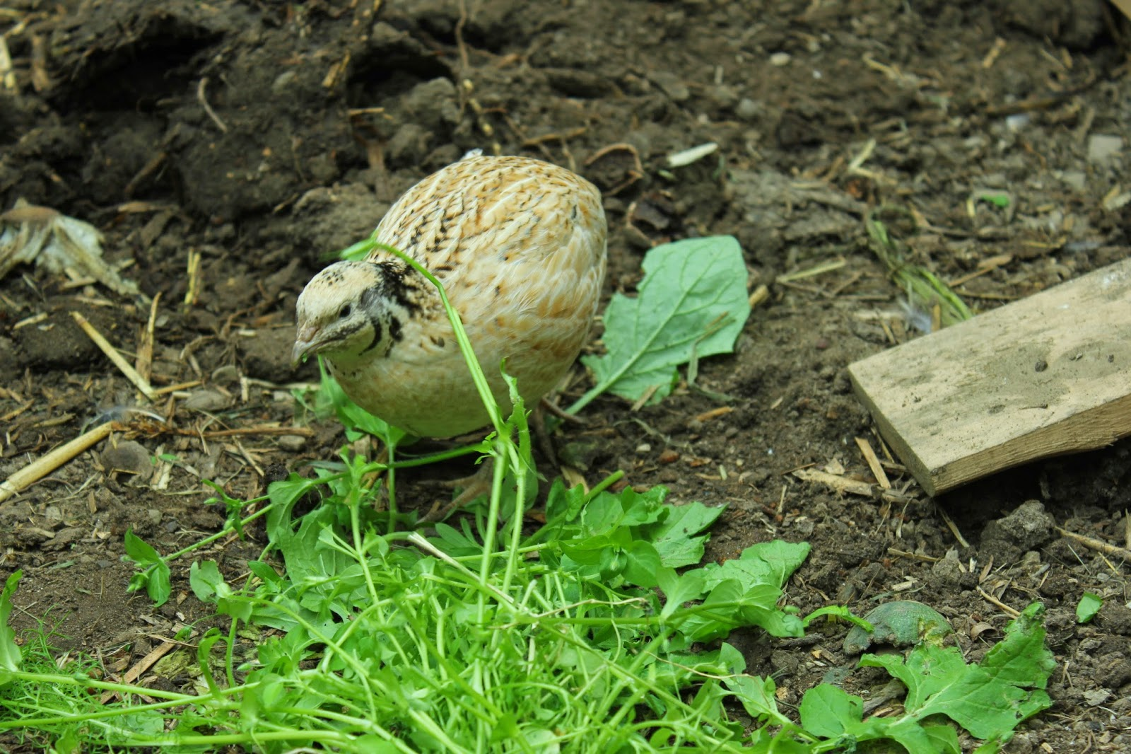 Organic Golden Coturnix quail eating weeds