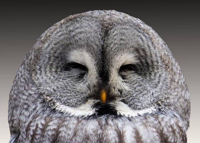 close up of owl face