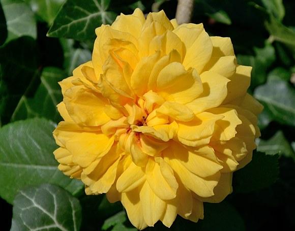 Leah Tutu сорт розы фото купить саженцы Минск