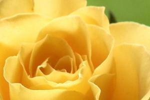 Bunga Mawar Foto Mawar dan Wallpaper Mawar Keren