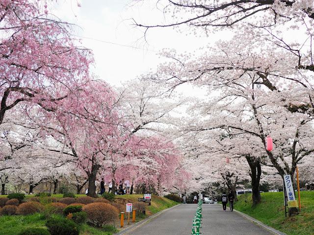 羊山公園 桜