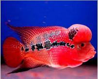 Ikan Hias Air Tawar Termahal  Rainbow King