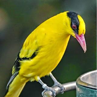 suara burung kepodang emas, burung kepodang emas, kepodang emas, suara kepodang emas, suara kepodang, burung kepodang, kepodang