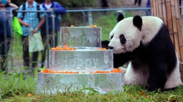 Muere Pan Pan, el panda que ayudó a salvar a su especie