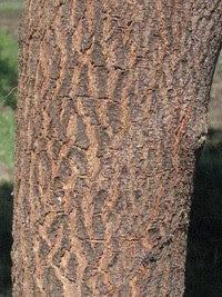 http://tipspetani.blogspot.com/2016/11/perbedaan-pohon-mimba-dan-pohon-mindi.html