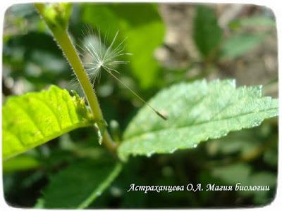 парашютик одуванчика, семянка