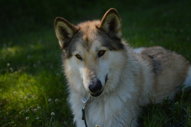 wolfdog from a shelter