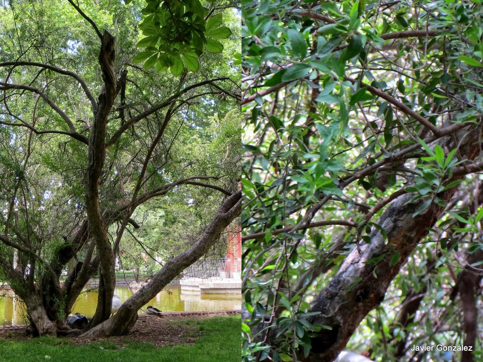 Parque del Retiro. Madrid. Huingan / Huingan-tree