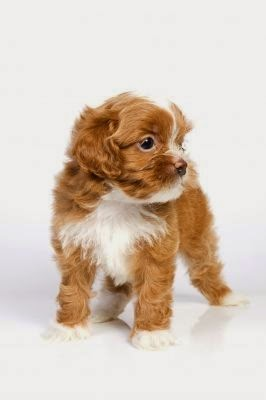 Small Hypoallergenic Dog Breeds | This hypoallergenic dog breeds sports a light but profuse silky coat