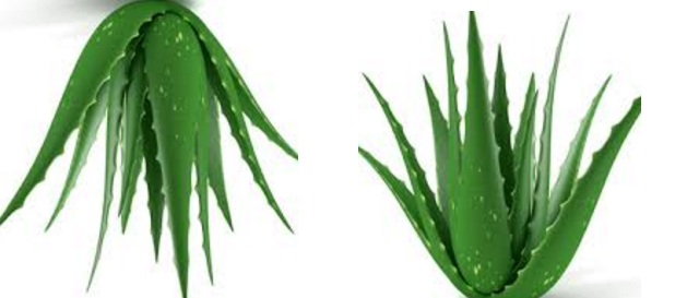 Patanjali Aloe Vera Juice How To Use