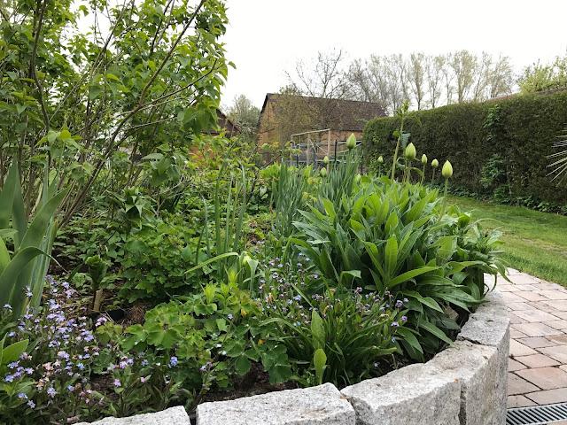 die weißen Tulpen werden als nächstes aublühen (c) by Joachim Wenk