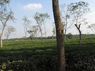 Tea Garden, Sreemangal