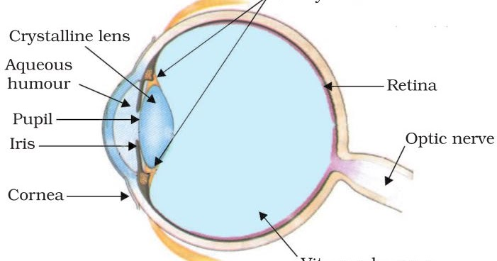 Human eye diagram of glass all kind of wiring diagrams notes of ch 11 human eye and colourful world class 10th science rh studyrankers com dog eye diagram the human eye ball diagram ccuart