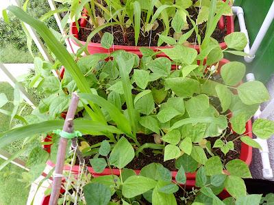 Container Garden Beans
