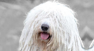 Everything about your Komondor