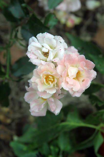 roses, peach drift rose, faded flowers, beauty, joy, garden, autumn, Anne Butera, My Giant Strawberry