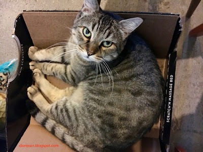 Tabby cat in her box at Purringtons