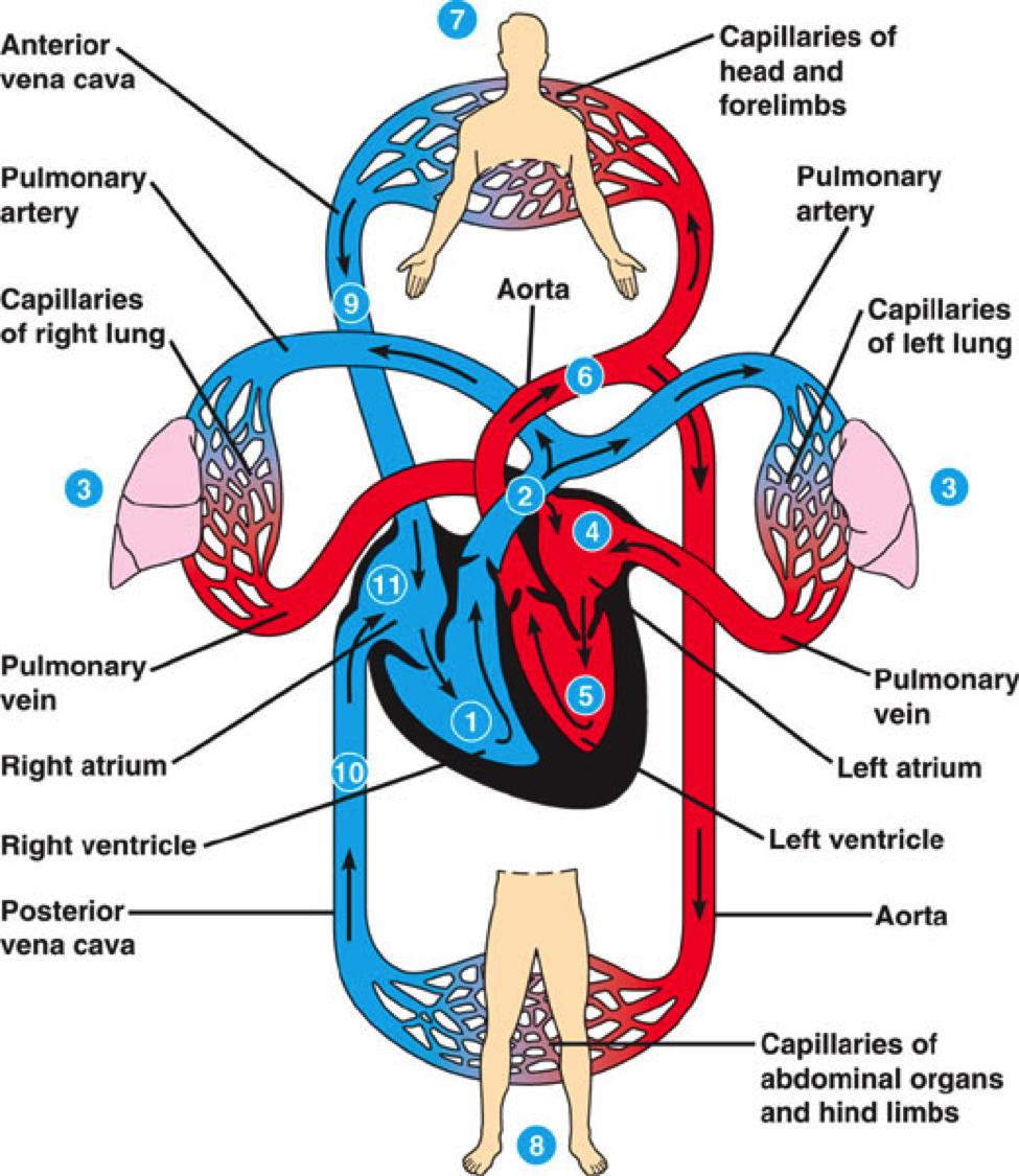 circulatory system parts - photo #16