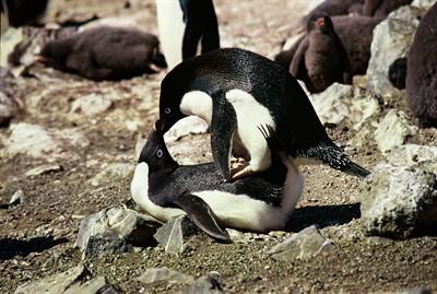 Do Penguins Have Sex 108