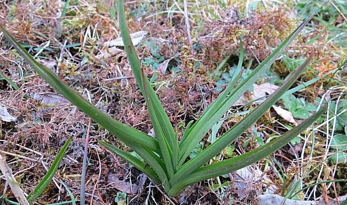 Jeune pousse d'orchidée Laxiflora