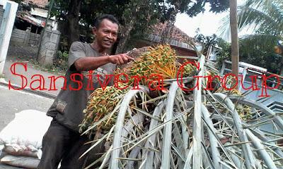 Tanaman-buah-korma-berbuah