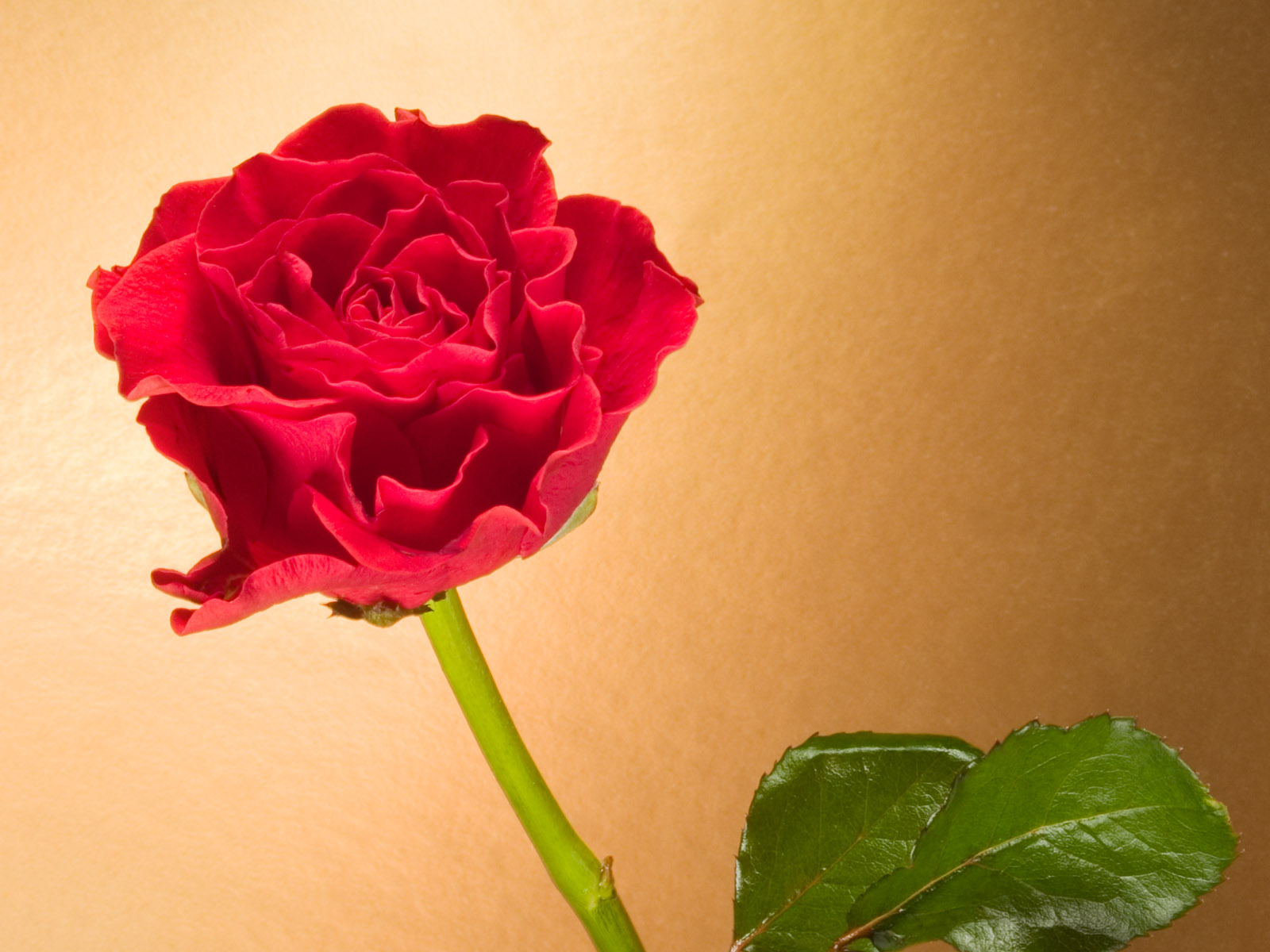 rose wallpapers best - photo #21