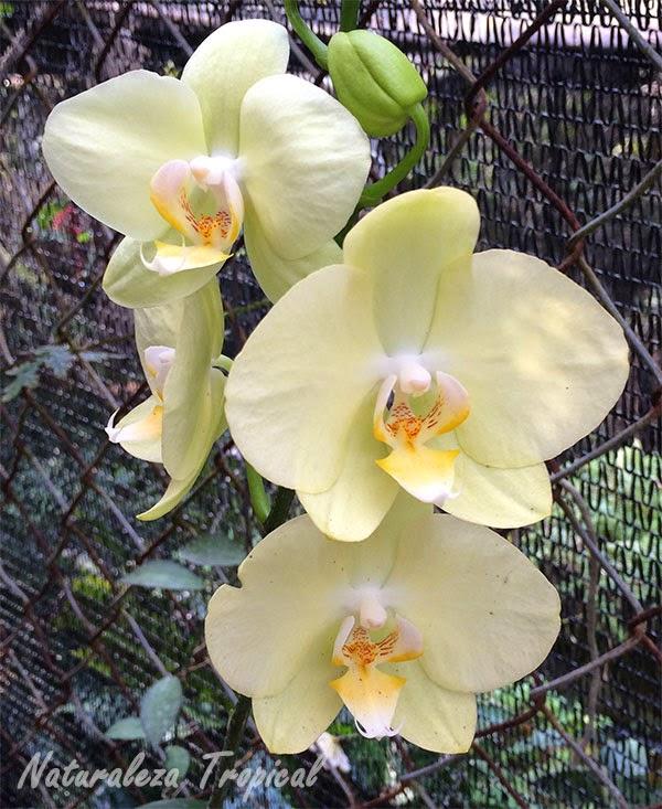 Variedad amarilla de la orquídea Mariposa, género Phalaenopsis