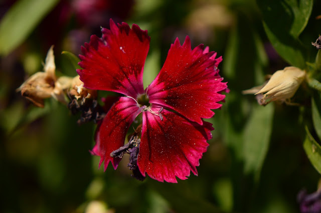 dianthus, small sunny garden, garden bloggers bloom day, amy myers, desert garden