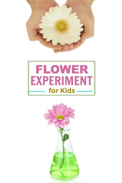 FLOWER EXPERIMENT FOR KIDS. How fun, and perfect for Spring! #scienceexperimentskids #springcraftsforkids #scienceforkids #flowerexperimentforkids #experimentsforkids #experiments #experimentsforkidseasy #springscienceactivities
