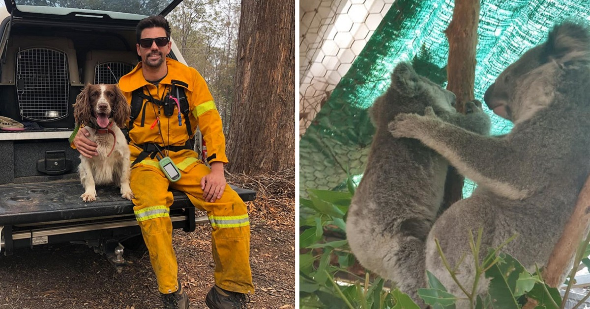 Heroic Dogs Are Rescuing Koalas From The Devastating Flames In Australia