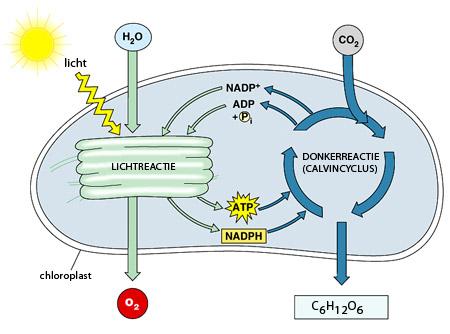 Algen Photosynthese