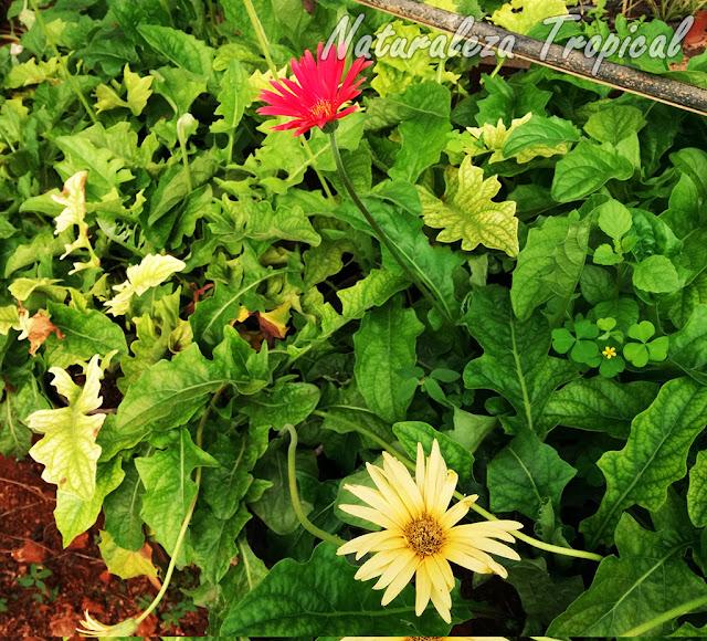Plantas de Gerberas en cultivo