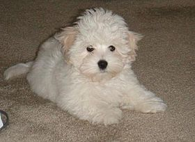 Coton de Tulear dog puppy
