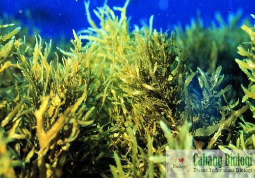 Cyanophyta (Ganggang Biru) dan Chrysophyta (Ganggang Keemasan)