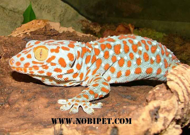 Ban-bo-sat-canh-reptiles-doc-la-dep-gia-re-tai-da-nang-1
