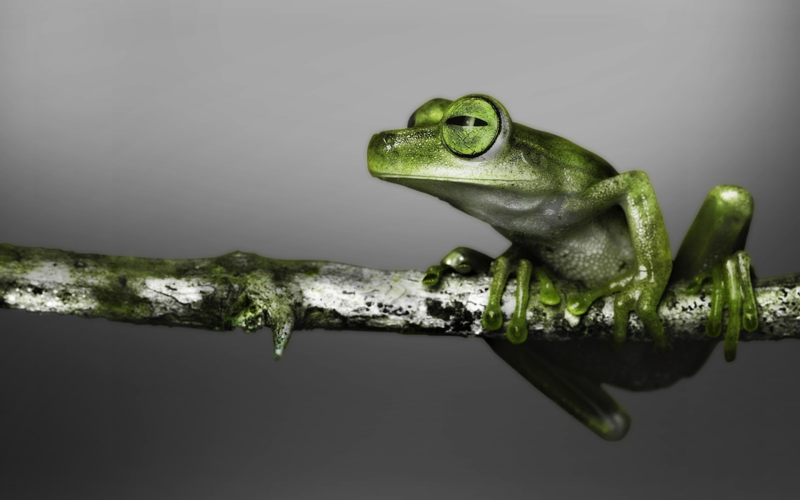 Frog Wallpapers | Fun Animals Wiki, Videos, Pictures, Stories