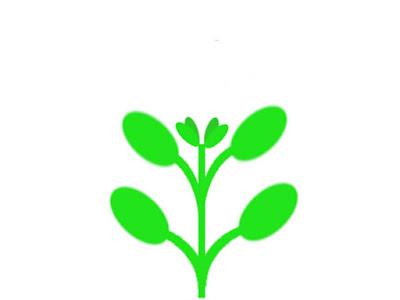 ハイグロフィラなどの対生の水草模式図(脇芽ができる)