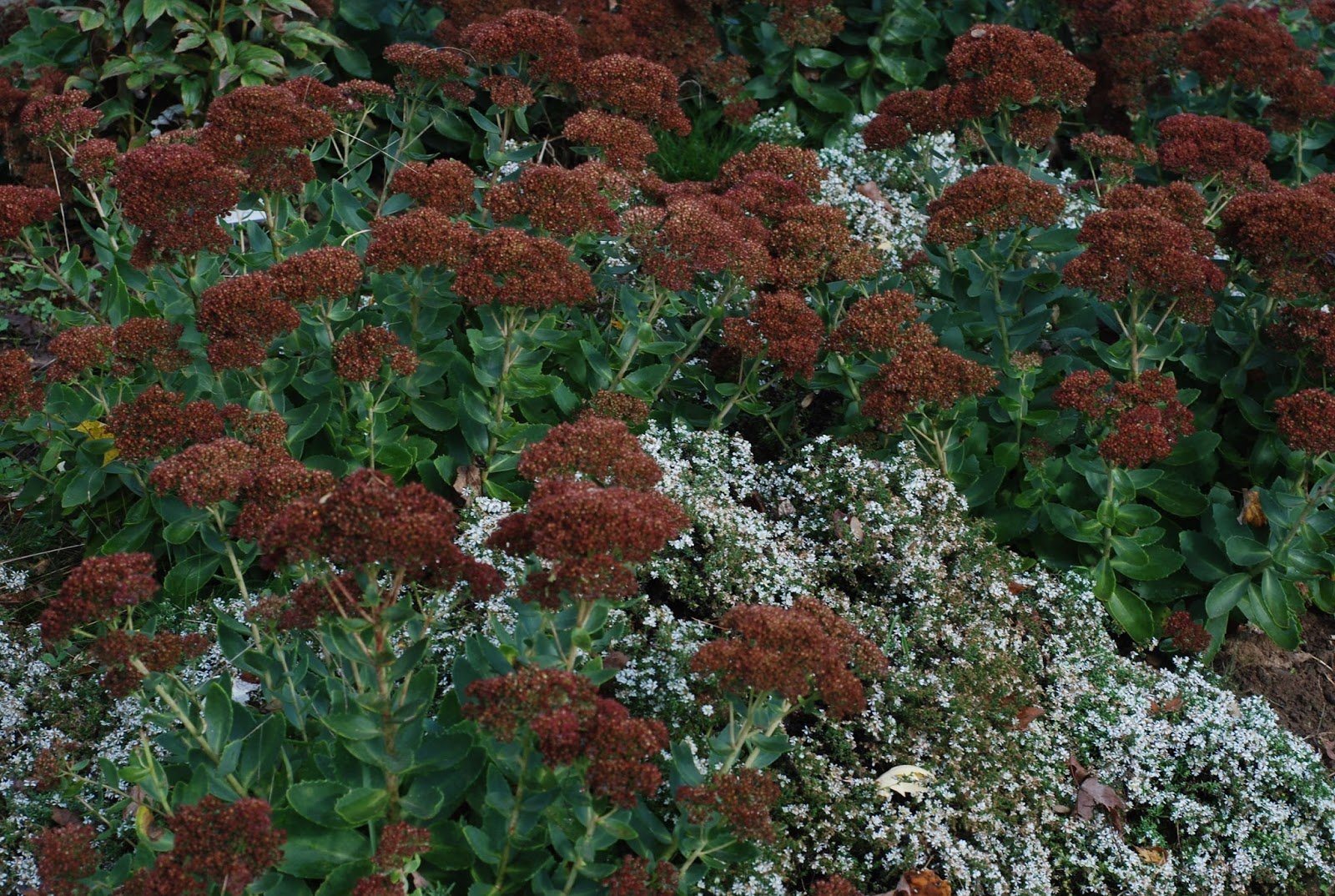 Lifestyle Garden Hardy October Blooming Perennials