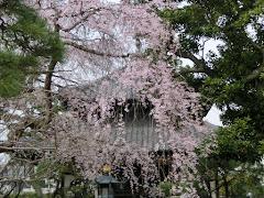 本覚寺の枝垂れ桜