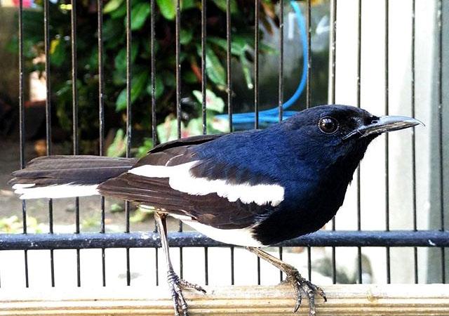 Mp3 Suara Burung Kacer Gacor